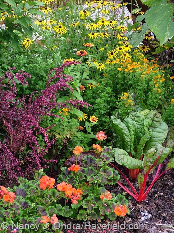 'Black Velvet Scarlet' zonal geranium (Pelargonium x hortorum), red orach (Atriplex hortensis 'Rubra'), orange coneflower (Rudbeckia fulgida var. fulgida), 'Starfire Mix' signet marigold (Tagetes tenuifolia), 'Rhubarb' Swiss chard, and 'Zowie Yellow Flame' zinnia (Zinnia elegans) at Hayefield
