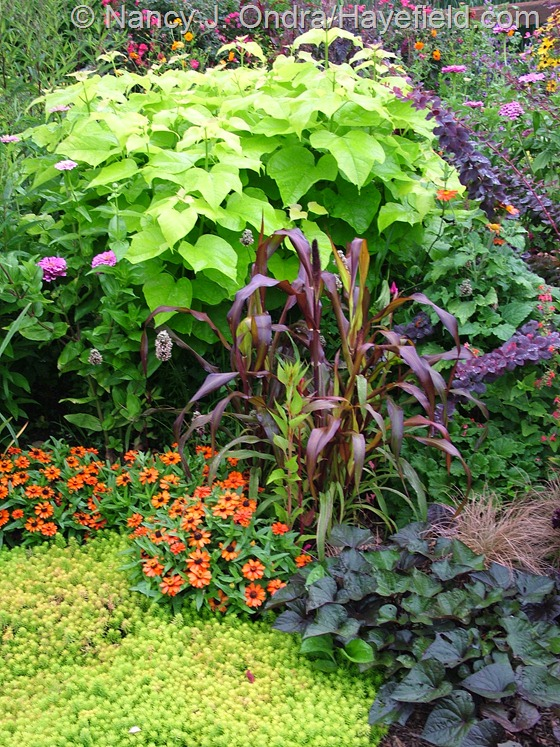 Golden catalpa (Catalpa bignonioides 'Aurea'), 'Jester' millet (Pennisetum glaucum), 'Ace of Spades' sweet potato vine (Ipomoea batatas), 'Profusion Orange' zinnia, and 'Angelina' sedum (Sedum rupestre) at Hayefield