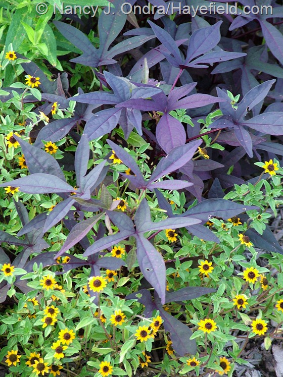 'Blackie' sweet potato vine (Ipomoea batatas) with 'Mandarin Orange' creeping zinnia (Sanvitalia procumbens) at Hayefield.com