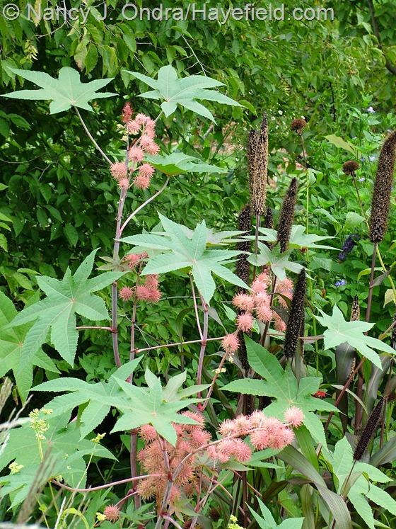 'Carmencita Pink' castor bean (Ricinus communis) and 'Jester' millet (Pennisetum glaucum) Hayefield.com