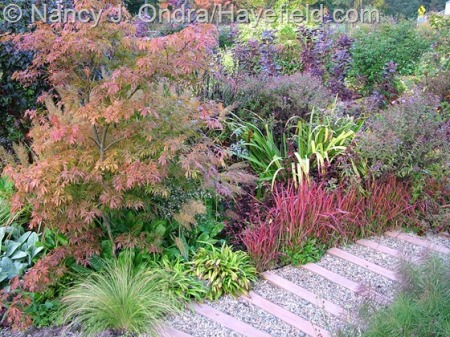 Front garden in fall with Acer palmatum, Stipa tenuissima, Carex plantaginea, Imperata cylindrica 'Rubra', Iris 'Gerald Darby', Symphyotrichum novae-angliae 'Hella Lacy', and Cotinus coggygria 'Royal Cloak' at Hayefield [nancyjondra.com]