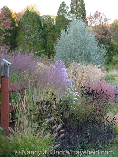 Fall border with Pennisetum alopecuroides 'Cassian', Rudbeckia fulgida var. fulgida seedheads, Echinacea purpurea seedheads, Panicum virgatum 'Dallas Blues', Symphyotrichum novae-angliae 'Harrison's Pink', Aster tataricus, Schizachyrium scoparium 'The Blues', Panicum amarum 'Dewey Blue', and Salix alba var. sericea at Hayefield [nancyjondra.com]