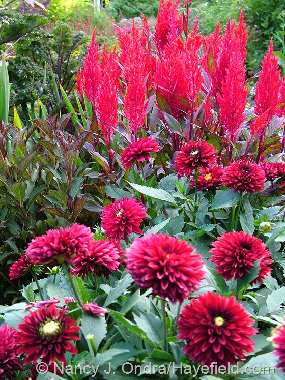 'Frivolous Glow' dwarf dahlia, 'China Town' celosia, and Fine Wine weigela (Weigela florida 'Bramwell') at Hayefield.com