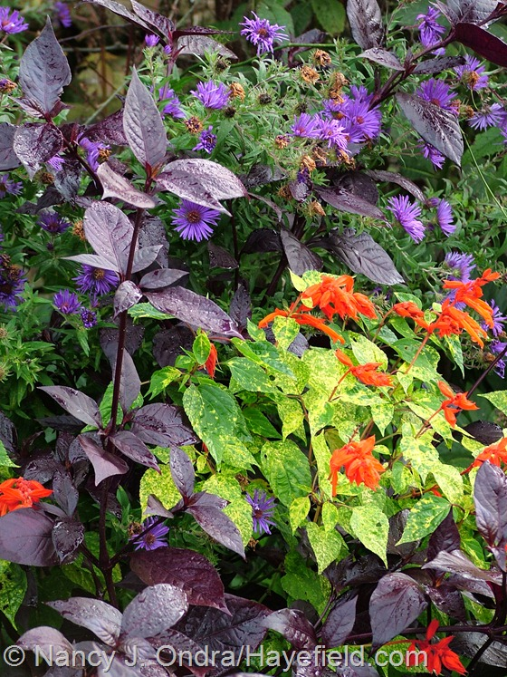 Salvia splendens 'Dancing Flames' with Alternanthera dentata 'Purple Knight' and 'Hella Lacy' New England aster (Symphyotrichum novae-angliae) at Hayefield.com