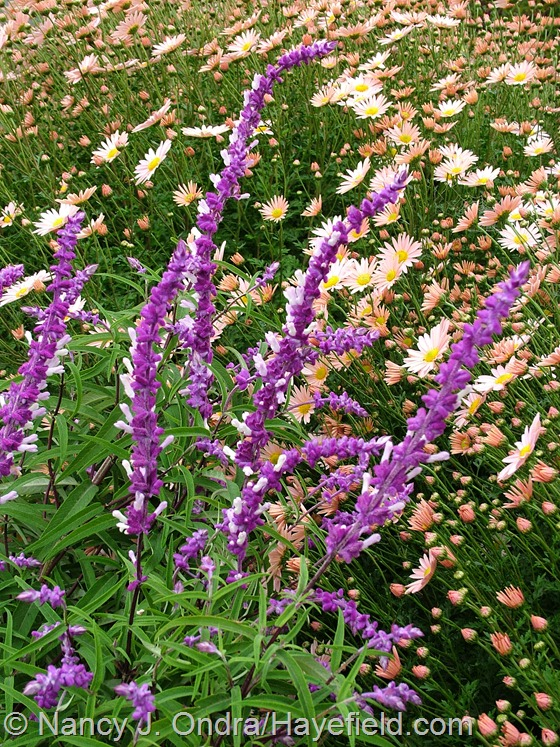 Salvia leucantha with Chrysanthemum 'Sheffield Pink' Hayefield.com
