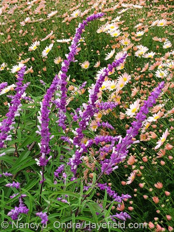 Salvia leucantha with Chrysanthemum 'Sheffield Pink' Hayefield.com