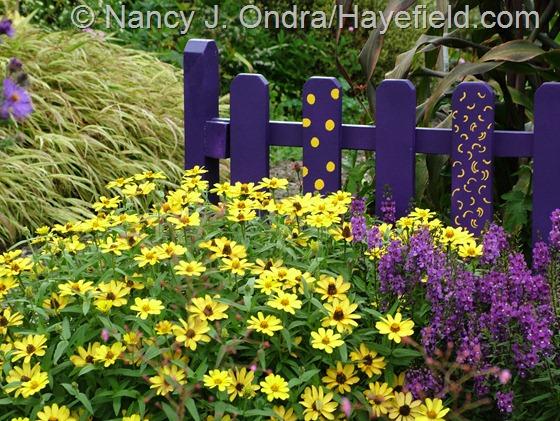 'Profusion Yellow' zinnia paired with 'Serena Purple' angelonia (Angelonia angustifolia) at Hayefield.com