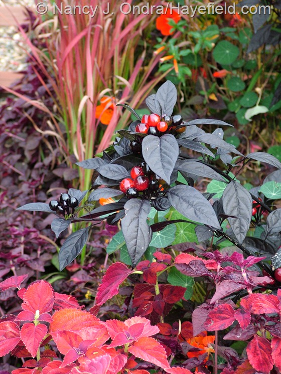 Capsicum annuum 'Black Pearl' with 'Sedona' coleus and Japanese blood grass (Imperata cylindrica 'Rubra') at Hayefield.com
