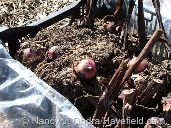 Canna indica 'Purpurea' rhizomes at Hayefield.com