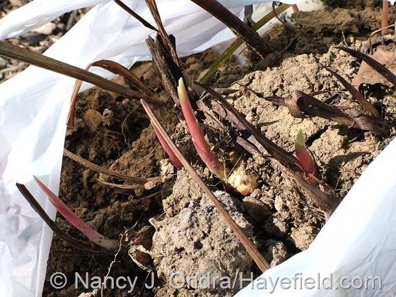 Crocosmia corms at Hayefield.com