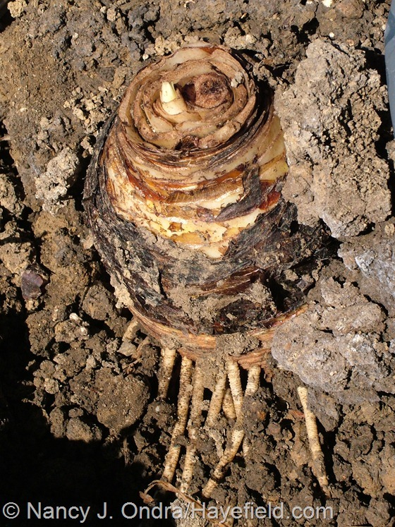 Eucomis comosa 'Oakhurst' bulb at Hayefield.com