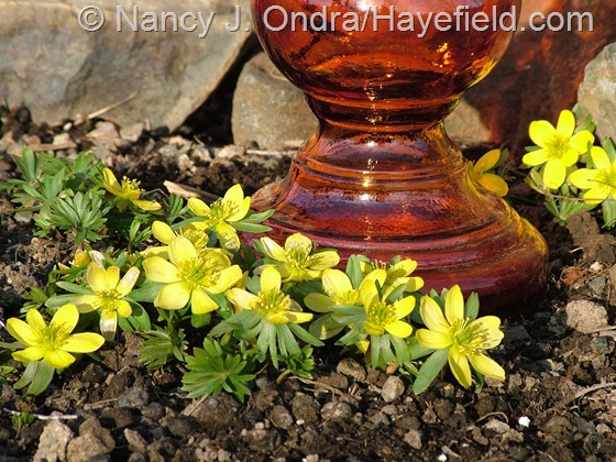 Eranthis hyemalis at Hayefield.com - March 2013
