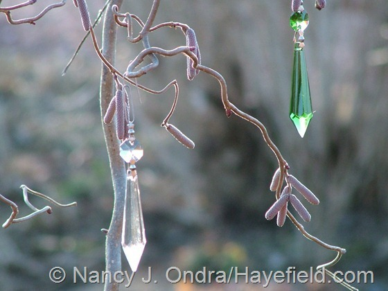 Crystal drops on Corylus avellana 'Red Majestic' at Hayefield.com