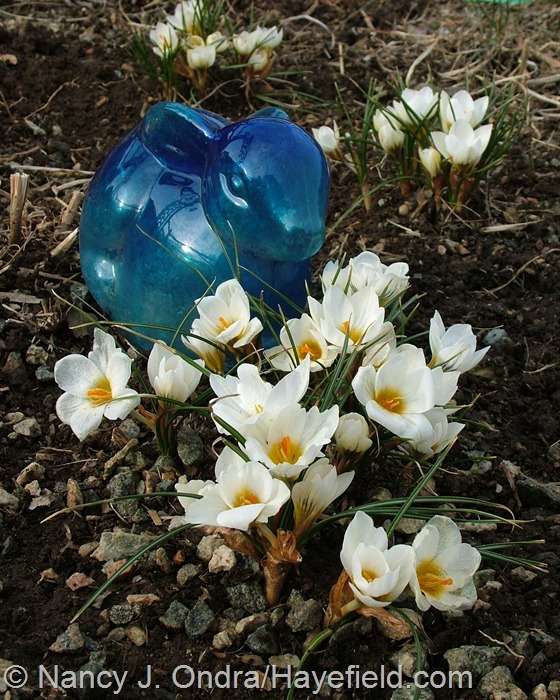 Crocus 'Snow Bunting' at Hayefield.com