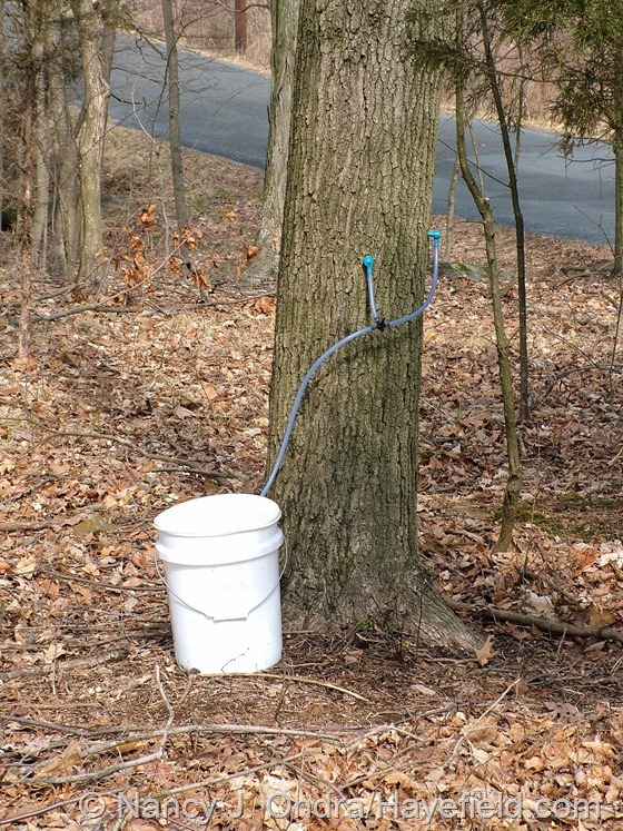 Maple sap buckets; Milford Township, PA