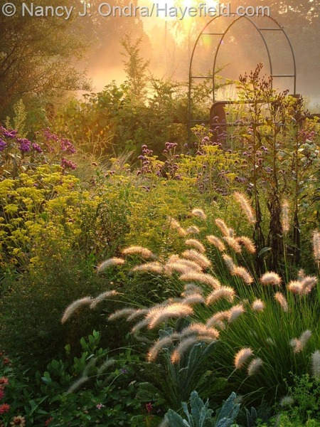 Side garden at Hayefield in fall with Pennisetum alopecuroides, Patrinia scabiosifolia, Vernonia, and Verbena bonariensis [nancyjondra.com]
