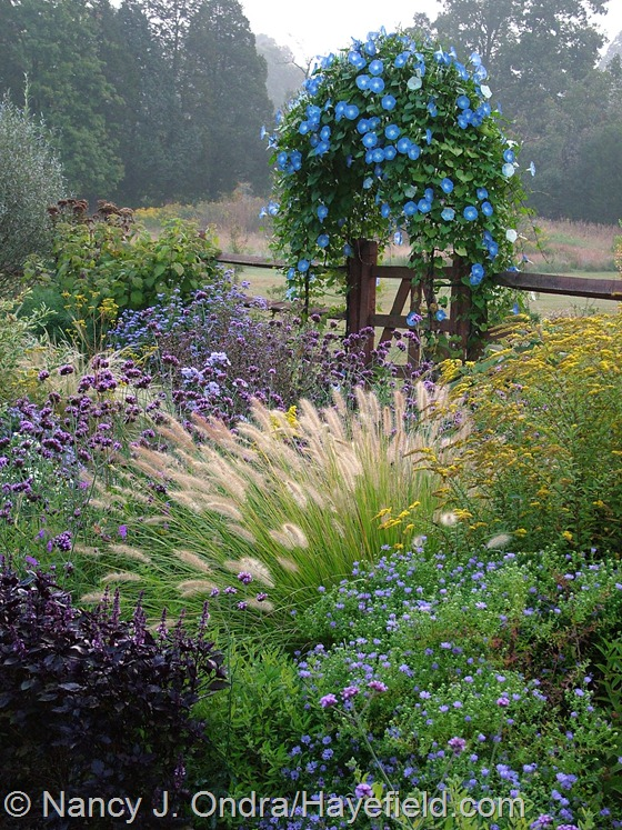 Side garden in fall with Symphyotrichum oblongifolium, Basil 'Osmin', Pennisetum alopecuroides, Solidago rugosa 'Fireworks', Verbena bonariensis, and Ipomoea 'Heavenly Blue' at Hayefield.com