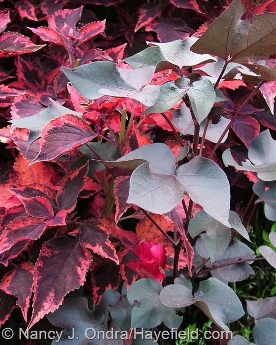 Coleus 'Religious Radish' with Gossypium herbaceum 'Nigrum' at Hayefield.com