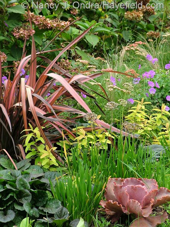 Phormium tenax 'Rainbow Sunrise' with Hydrangea macrophylla 'Nigra', Stipa tenuissima, Geranium 'Gerwat' [Rozanne], Hypericum calycinum 'Brigadoon', Allium 'Summer Beauty', Echeveria 'The Rose', and Ajuga 'Catlin's Giant' at Hayefield.com