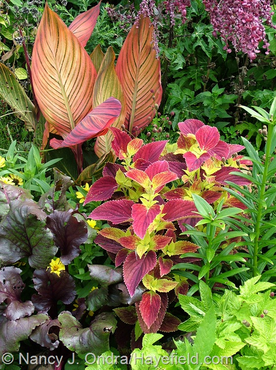 Coleus 'Bellingrath Pink' with Filipendula ulmaria 'Aurea', beet 'Bull's Blood', and Canna 'Phaison' [Tropicanna] at Hayefield.com