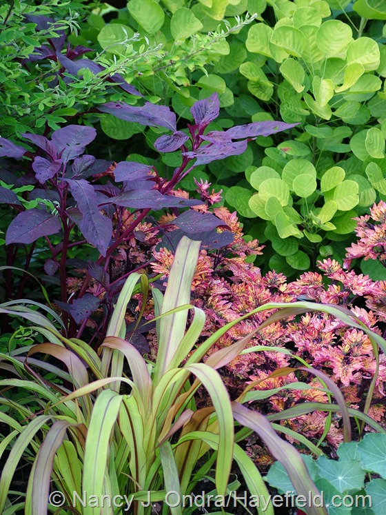 Coleus 'Smallwood's Driveway' with Pennisetum glaucum 'Jester', Amaranthus 'Hopi Red Dye', and Cotinus coggygria Golden Spirit ['Ancot'] at Hayefield.com