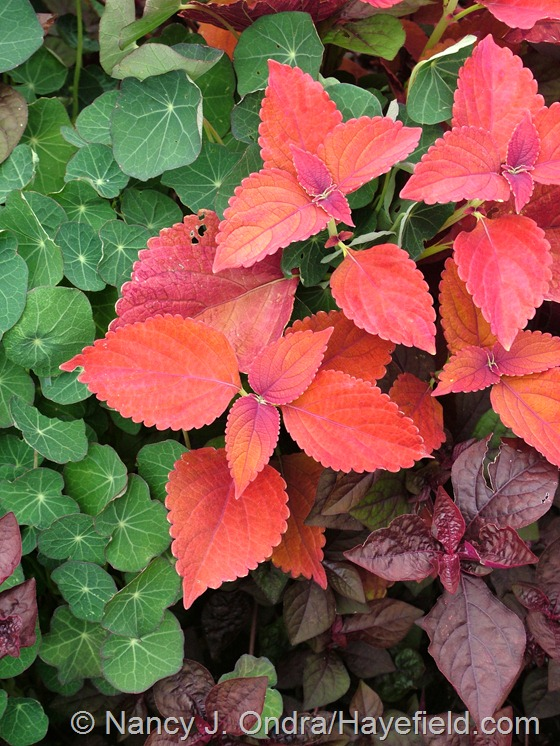 Coleus 'Sedona' with Tropaeolum majus 'Empress of India' and Iresine herbstii 'Purple Lady' at Hayefield.com