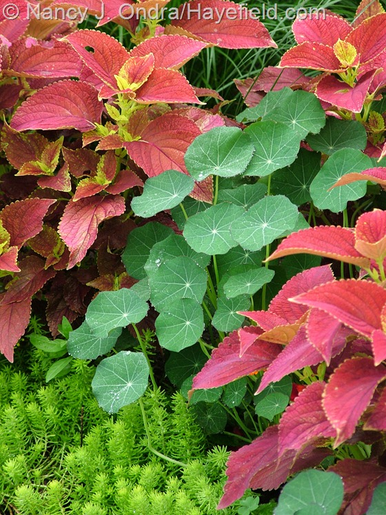 Coleus 'Bellingrath Pink' with Sedum rupestra 'Angelina' and Tropaeolum majus 'Princess of India' at Hayefield.com
