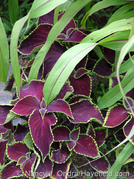 Coleus 'Chocolate Mint' with Pennisetum glaucum 'Jester' at Hayefield.com