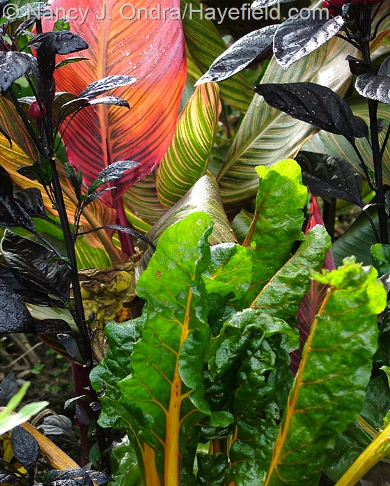 Chard 'Bright Lights' with Capsicum annuum 'Black Pearl' and Canna 'Phaison' [Tropicanna] at Hayefield.com
