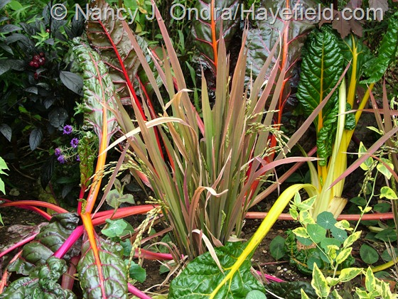 Chard 'Bright Lights' with Oryza sativa 'Red Dragon' at Hayefield.com