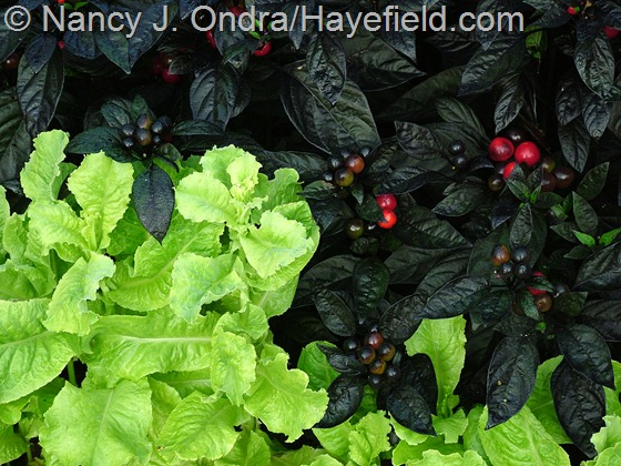 Lettuce 'Australian Yellow' with Capsicum annuum 'Black Pearl' at Hayefield.com