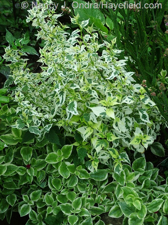 Caryopteris Snow Fairy Aptenia Crystal Variegata late Aug 06