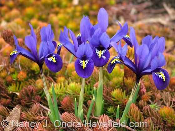 Iris reticulata with Sedum 'Angelina' at Hayefield.com