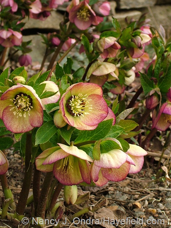 Helleborus x hybridus (pink-blushed yellow single) at Hayefield.com