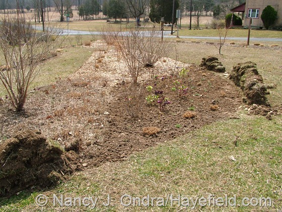 New spring section in shrubbery at Hayefield
