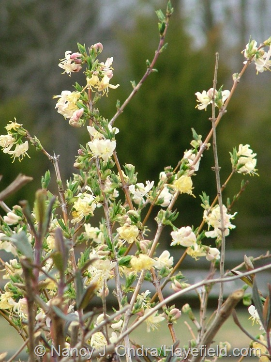 Lonicera fragrantissima at Hayefield