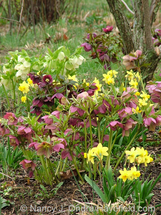 Helleborus x hybridus and Narcissus 'Tete a Tete' at Hayefield