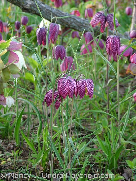 Fritillaria meleagris at Hayefield.com