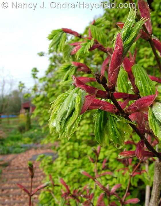 Acer shirasawanum 'Aureum' new shoots at Hayefield.com