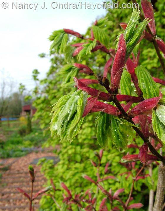 Acer shirasawanum 'Aureum' new shoots at Hayefield.com