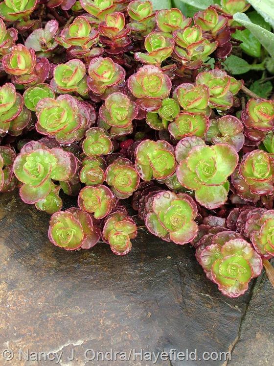 Sedum spurium 'Elizabeth' at Hayefield.com