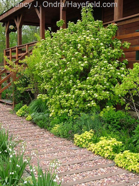 Golden wayfaring tree (Viburnum lantana 'Aureum') at Hayefield.com