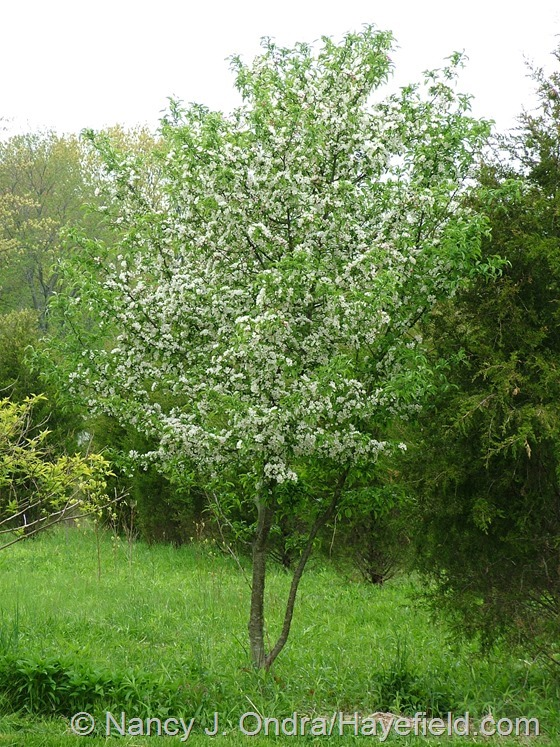 Crabapple seedling in the meadow at Hayefield.com