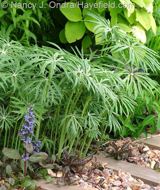 Shredded umbrella plant (Syneilesis aconitifolia) with 'Black Scallop' ajuga (Ajuga reptans) at Hayefield.com