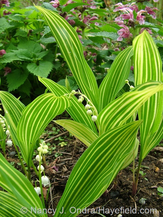 Convallaria majalis 'Variegata' at Hayefield.com