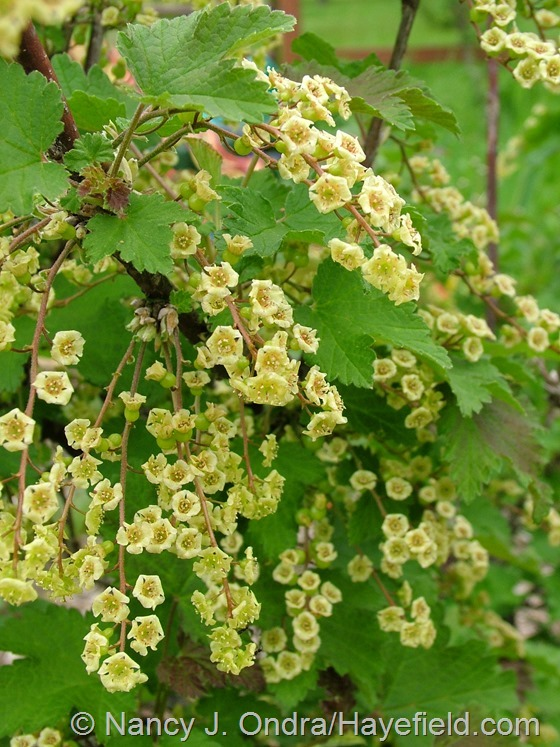 Ribes in flower at Hayefield.com