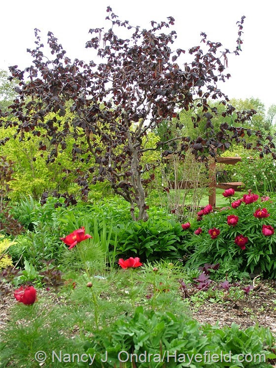 'Red Majestic' contorted hazel (Corylus avellana) with some species peonies in the front garden at Hayefield.com