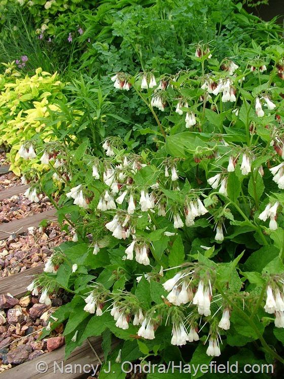 Symphytum grandiflorum at Hayefield.com
