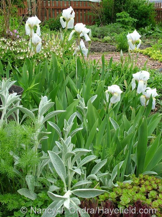 Orris root (Iris 'Florentina') with lamb's ears (Stachys byzantina) at Hayefield.com