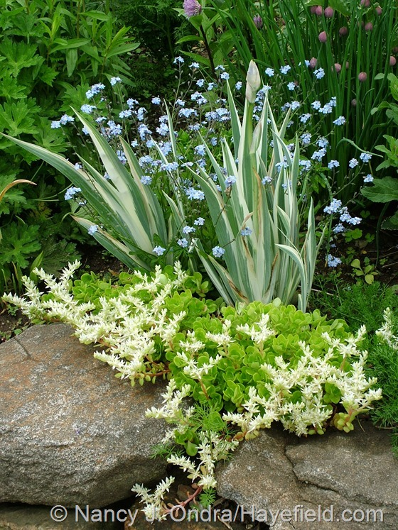 White-variegated sweet flag iris (Iris pallida 'Argentea Variegata') with forget-me-nots (Myosotis sylvatica) and woodland sedum (Sedum ternatum) at Hayefield.com